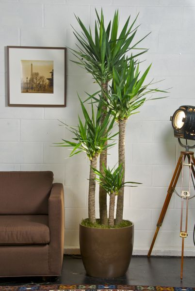 Indoor and Big Plants for Your Living   Room